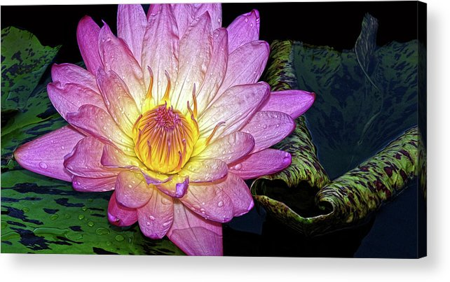 Waterlily Acrylic Print featuring the photograph Pink And Yellow Waterlily by Dave Mills