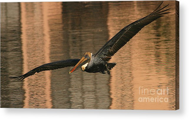 Pelican Acrylic Print featuring the photograph Brown Pelican On A Sunset Flyby by Max Allen