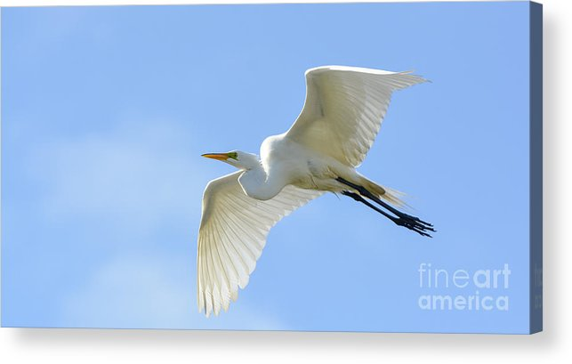Great Acrylic Print featuring the photograph Graceful Flight by Quinn Sedam
