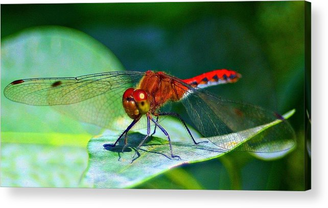 Insect Acrylic Print featuring the photograph Redheaded Dragonfly by Barbara S Nickerson