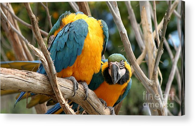 Blue Acrylic Print featuring the photograph Blue And Gold Macaws by Henrik Lehnerer