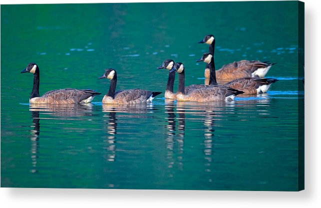 Acrylic Print featuring the photograph Canada Geese 2 by Brian Stevens