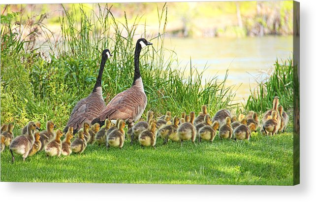 Canada Goose Acrylic Print featuring the photograph Canadian Geese Family by Jennie Marie Schell
