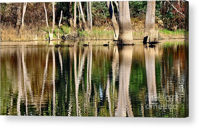 Photography Acrylic Print featuring the photograph Spot The Swan Family by Kaye Menner