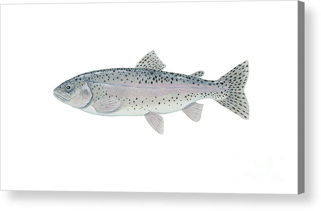 Side View Acrylic Print featuring the digital art Illustration Of A Steelhead Trout by Carlyn Iverson