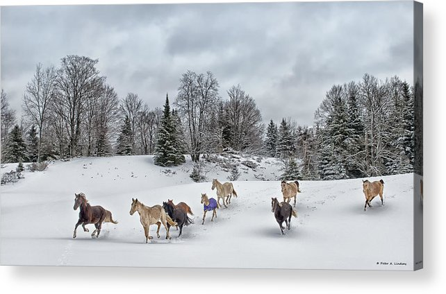 Rocky Mountain Horse Acrylic Print featuring the photograph Winter Run by Peter Lindsay