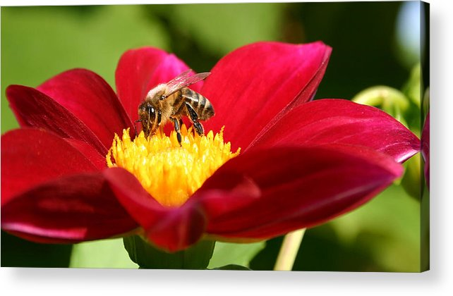 Bee Acrylic Print featuring the photograph Bee On Red Dahlia by Emanuel Tanjala