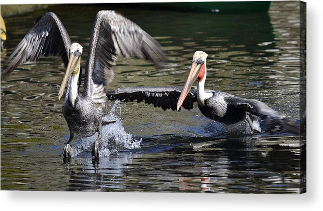 California Brown Pelican Acrylic Print featuring the photograph Catch Me If You Can by Fraida Gutovich