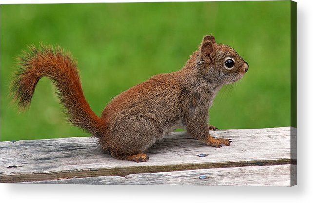 Squirrel Acrylic Print featuring the photograph Little Red by Jeff Galbraith