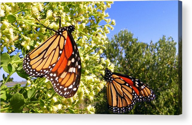 Butterfly Acrylic Print featuring the photograph Monarch Rest I by Sheri McLeroy