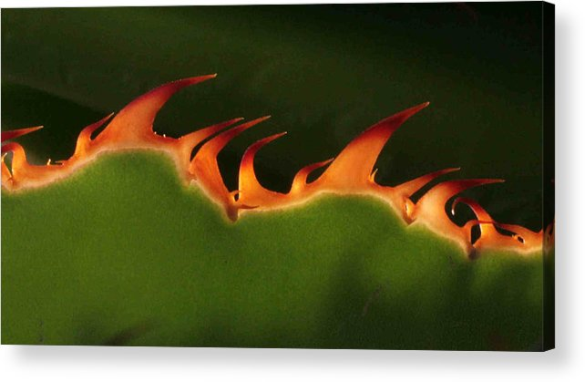 Nature Acrylic Print featuring the photograph Flaming Aloe by Matt Cormons