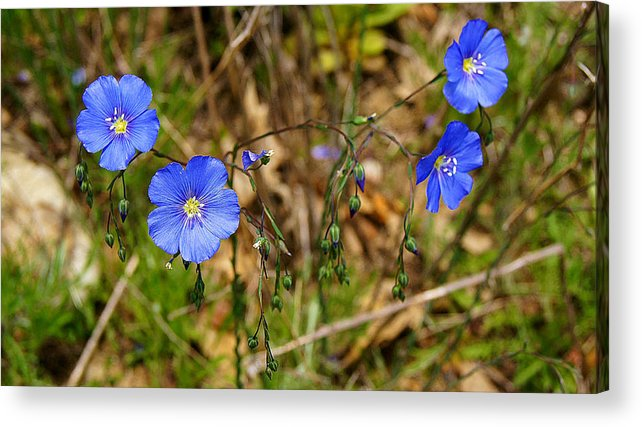 Flax Acrylic Print featuring the photograph Flax Flower At The Chambers Island Lighthouse by Carol Toepke