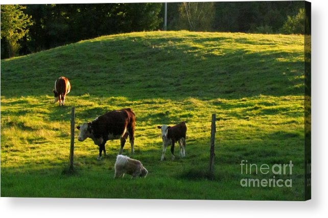Cows Acrylic Print featuring the photograph In The Field by Randi Shenkman