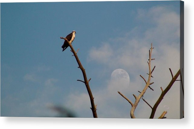 Osprey Acrylic Print featuring the photograph Osprey Looking Toward Full Moon by Robert Norcia