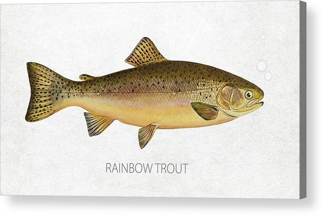 Rainbow Trout Acrylic Print featuring the digital art Rainbow Trout by Aged Pixel