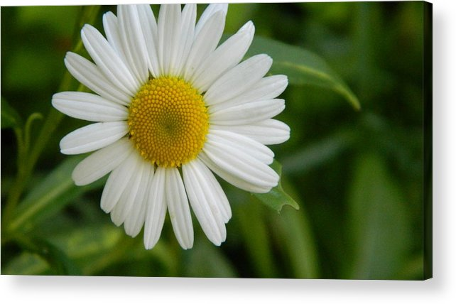 Daisy Acrylic Print featuring the photograph Sign Of Spring by Jennifer Boisvert