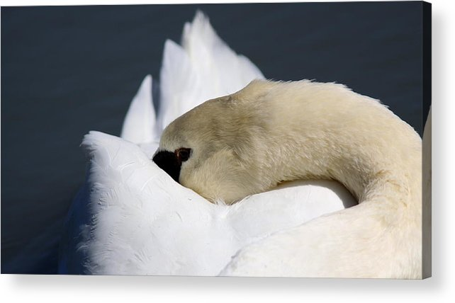 Swan Acrylic Print featuring the photograph Snoozer - Swan by Travis Truelove