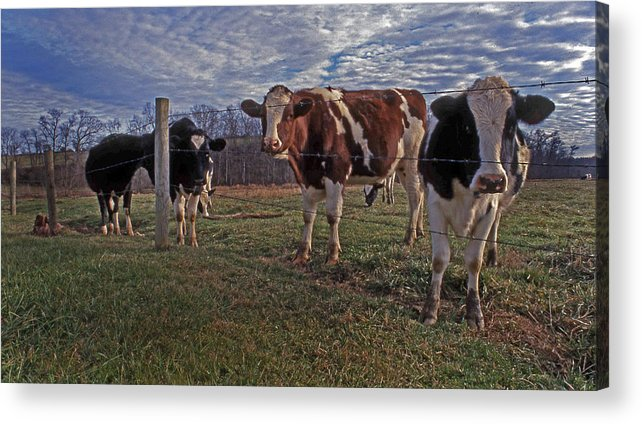 Cows Acrylic Print featuring the photograph Stand Yer Ground by Skip Willits