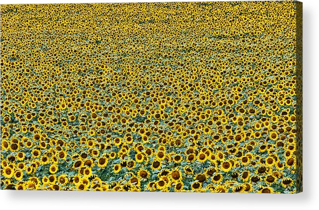 Yellow Acrylic Print featuring the photograph Sunflower Nirvana 24 by Allen Beatty