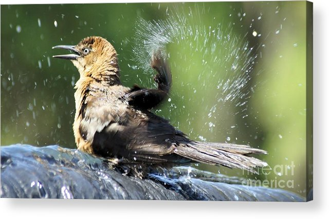 Bird Acrylic Print featuring the photograph Taking A Bath. by Evelyn Hill