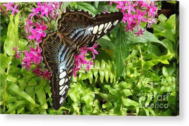 Butterfly Acrylic Print featuring the photograph The Brown Clipper by Lingfai Leung