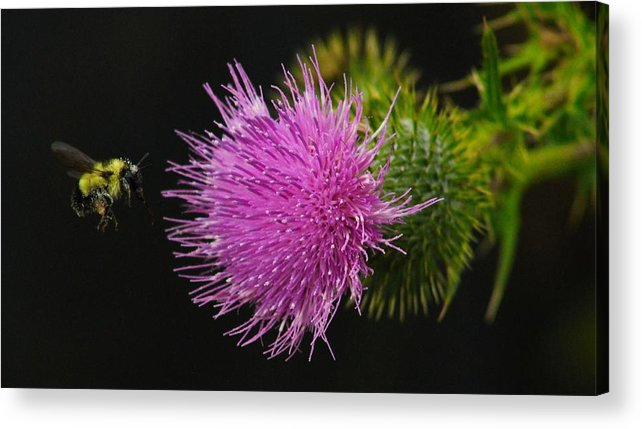 Thistle Acrylic Print featuring the photograph Thistle While You Work by Karl Anderson