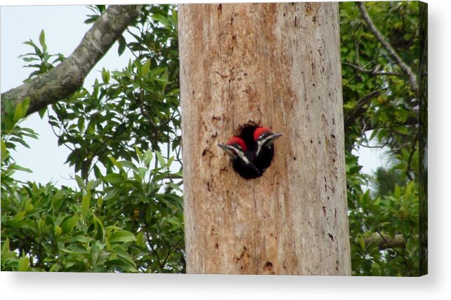 Woodpecker Acrylic Print featuring the photograph Woodpecker Babies Ready To Explore by Robert Norcia
