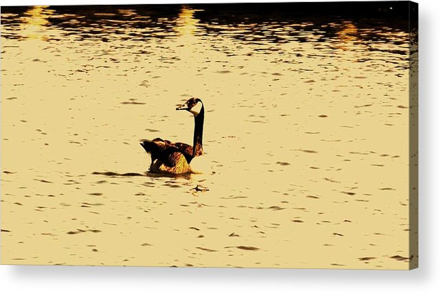 Wildlife Acrylic Print featuring the photograph Canadian Goose by John Blanchard