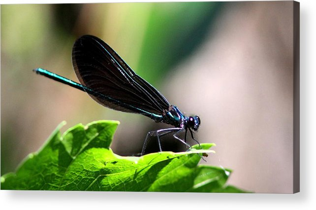 Ebony Jewelwing Acrylic Print featuring the photograph Ebony Jewelwing In The Spotlight by Travis Truelove