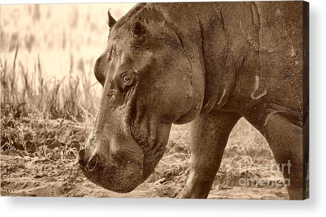 Hippo Acrylic Print featuring the photograph Evening Hippo Walk by Mareko Marciniak