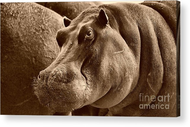 Hippo Acrylic Print featuring the photograph Hippo Of Khwai by Mareko Marciniak