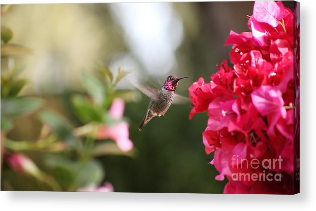 Hummingbird Acrylic Print featuring the photograph Hummingbird In Bougainvillea by Ruby Hummersmith