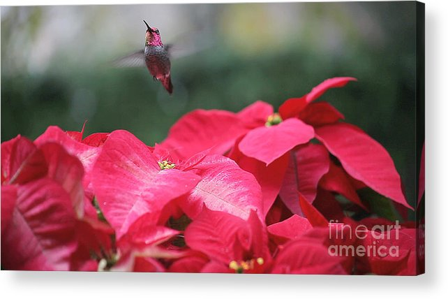 Hummingbird Acrylic Print featuring the photograph Hummingbird Over Poinsettias by Ruby Hummersmith