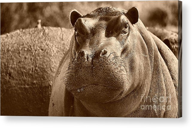 Hippo Acrylic Print featuring the photograph Portrait Of A Hippo by Mareko Marciniak