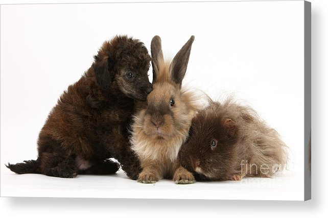Nature Acrylic Print featuring the photograph Red Merle Toy Poodle Pup, Guinea Pig by Mark Taylor