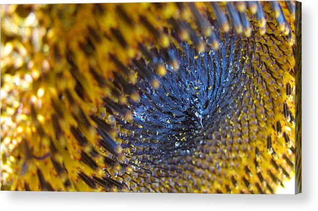 Sunflower Acrylic Print featuring the photograph Stoned by Renee Holder
