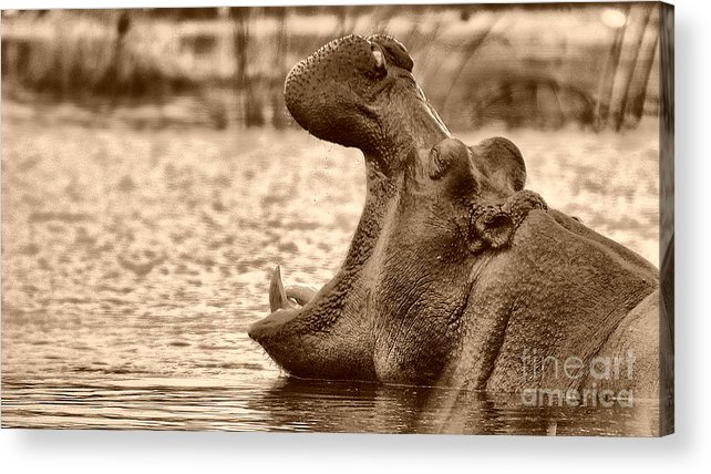 Hippo Acrylic Print featuring the photograph That's My Place by Mareko Marciniak