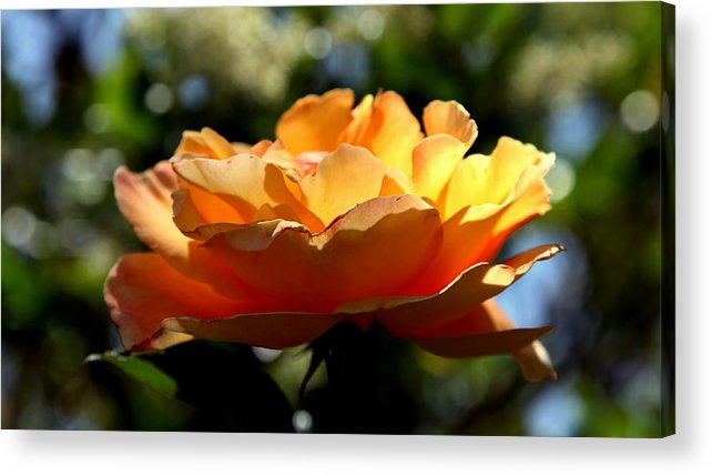 Roses Acrylic Print featuring the photograph The Bronze Star by Karen Wiles