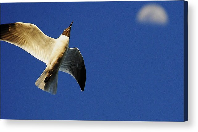 Wildlife Acrylic Print featuring the photograph to the moon Alice by John Blanchard