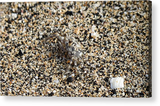 Crab Acrylic Print featuring the photograph Where's The Crab by Elizabeth Harshman