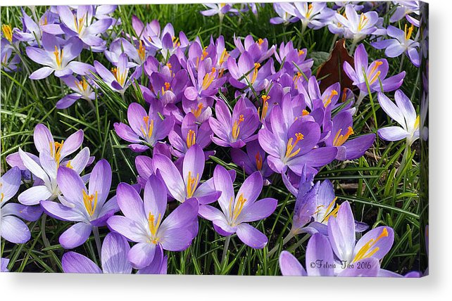 Crocus Acrylic Print featuring the photograph Let It Spring by Felicia Tica