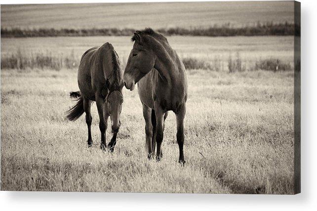 Finland Acrylic Print featuring the photograph Horses Of The Fall Bw by Jouko Lehto