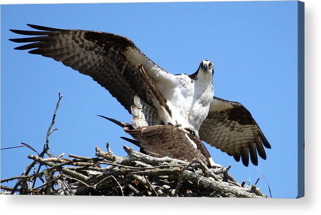 Osprey Acrylic Print featuring the photograph The Birds And The Bees by Annie Babineau