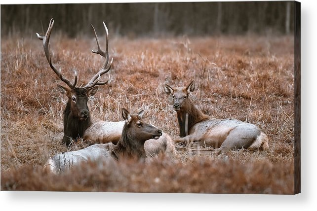 Elk Acrylic Print featuring the photograph Elk Family Portrait by Garett Gabriel