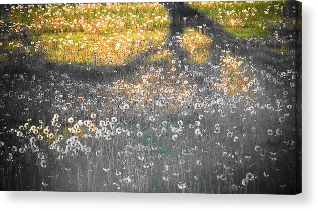 Manipulated Shadow Dandelions Seed Heads Tree Branch Yard Grass Green Gold Grey Colorado Outdoors Bryce Fellbaum Acrylic Print featuring the photograph My First Manipulated Image Crowd Of Dandelions In Shadow Of Tree Branches by Bryce Fellbaum