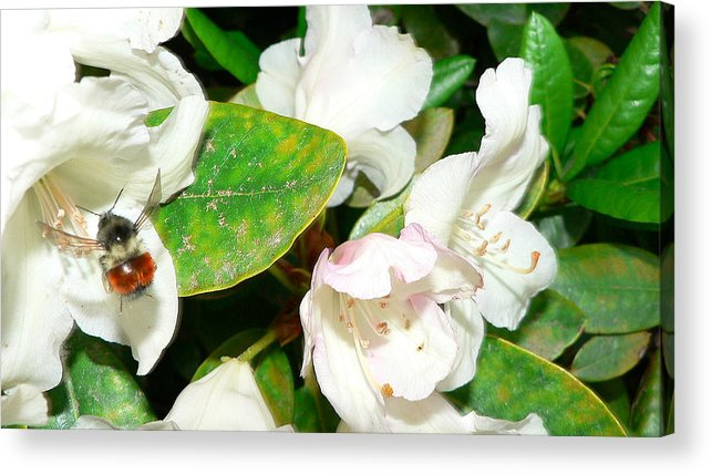 Bee Acrylic Print featuring the photograph Rhododendron And Bee by Larry Keahey