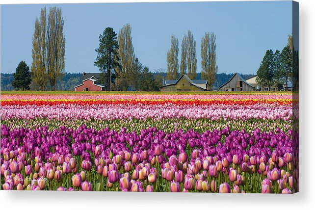 Tulip Acrylic Print featuring the photograph Tulip Landscape by Peter OBrien