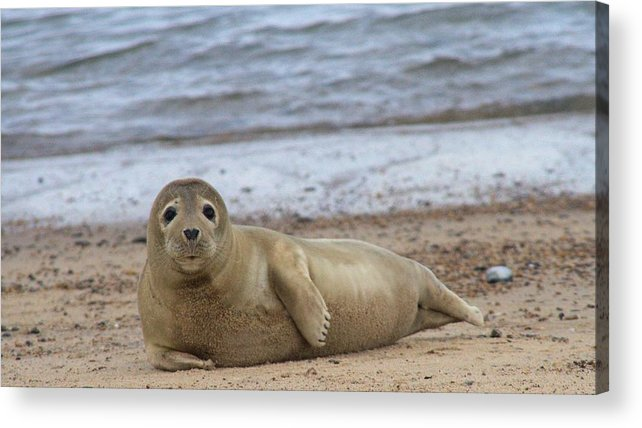 Seal Acrylic Print featuring the photograph Young Seal Pup On Beach - Horsey, Norfolk, Uk by Gordon Auld