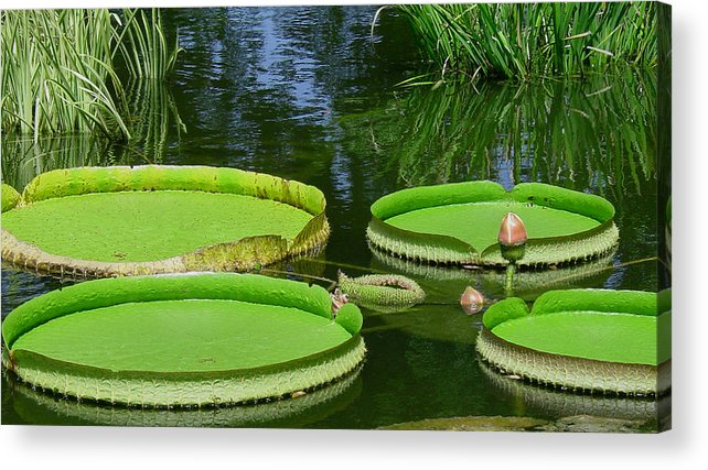 Amazonas Lily Pads Acrylic Print featuring the photograph Amazonas Lily Pads by Suzanne Gaff
