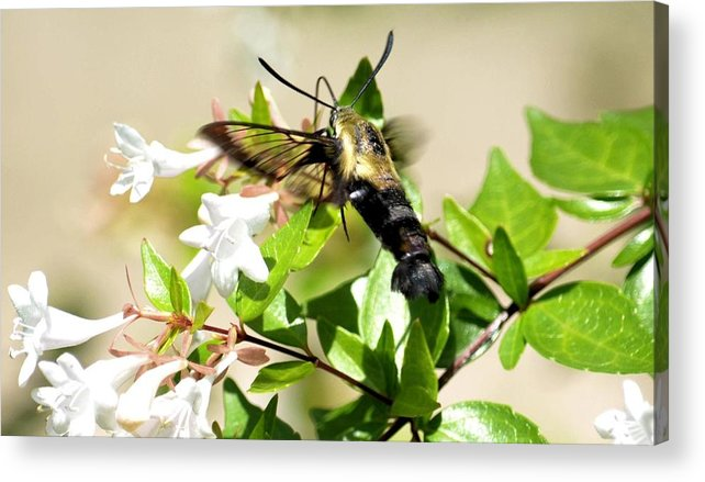 Sphinx Acrylic Print featuring the photograph A Sphinx's Pollination by Maria Urso